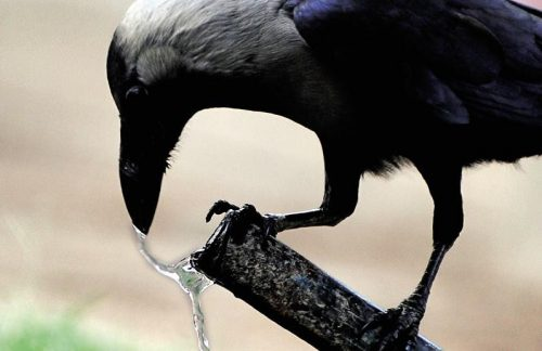 crow drinking water in heat