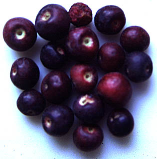 falsa fruit